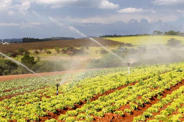 Nawadnianie na plantacjach sałaty