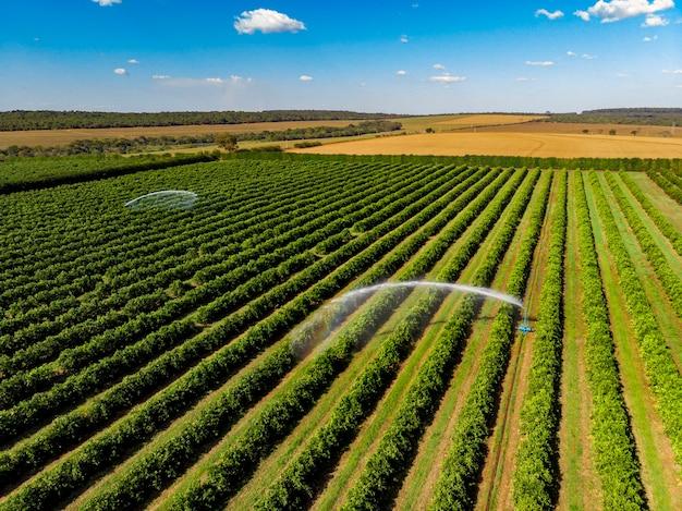 Nawadnianie plantacji pomarańczy w słoneczny dzień w brazylii.