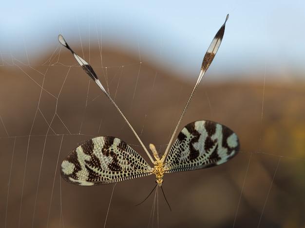 Nemoptera bipennis złapany w sieć pająka.