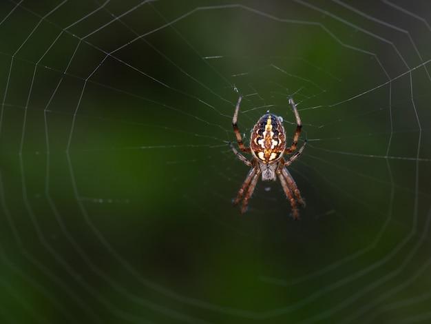 Neoscona adianta. pająk w swoim naturalnym środowisku.