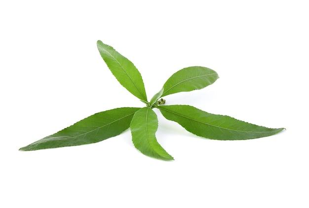 Ngai camphor tree lub blumea balsamifera zielone liście na białym tle.
