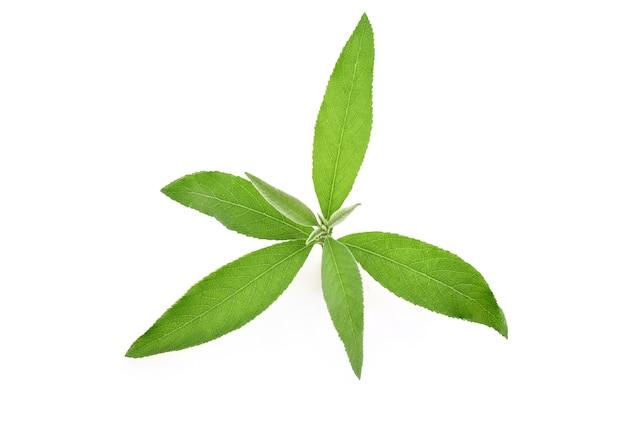 Ngai camphor tree zielone liście na białym tle biały ze ścieżką przycinającą