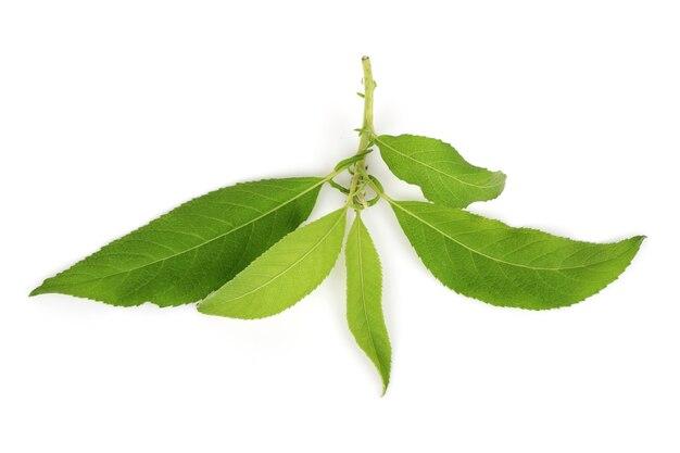 Ngai camphor tree zielone liście na białym tle. widok z góry, płaski układ.