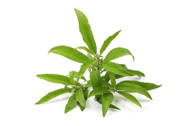 Ngai camphor tree zielone liście na białym tle.