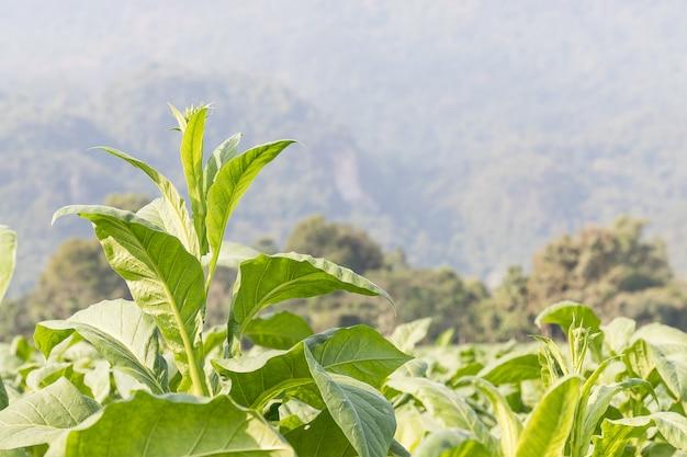 Nicotiana tabacum roślina zielna