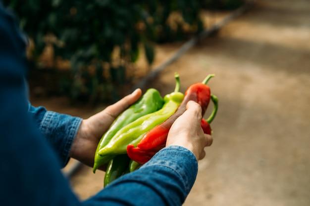 Nie do poznania człowiek trzymający czerwoną i zieloną włoską lub słodką paprykę z palermo świeżo zebraną z ekologicznej szklarni. uprawa ekologiczna