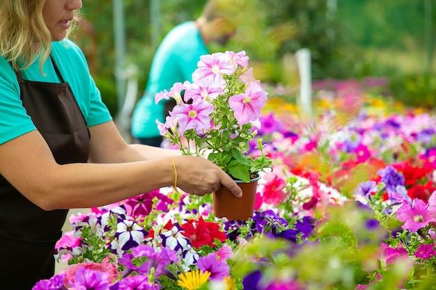 Nie do poznania kobieta trzyma doniczkę w ogrodzie lub szklarni. dwóch profesjonalnych ogrodników w fartuchach pracujących przy kwitnących kwiatach w doniczkach. selektywna ostrość. działalność ogrodnicza i koncepcja lato
