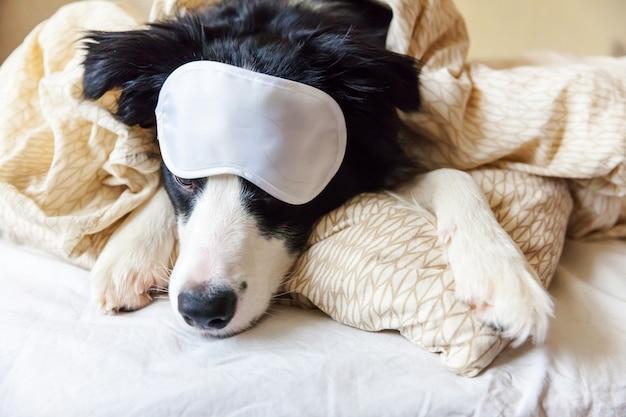 Nie przeszkadzaj mi, pozwól mi spać. zabawny szczeniak rasy border collie z maską do spania leżał na poduszce w łóżku mały pies w domu leżał i śpi. odpoczynek dobranoc bezsenność sjesta koncepcja relaksacyjna