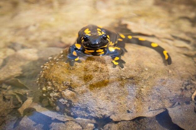 Nieaktywny salamandra ognista odpoczywa w wodzie w słoneczny wiosenny dzień z ciepłym światłem