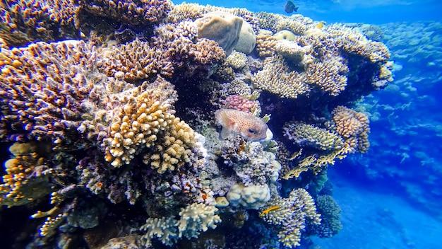 Niebezpieczna szara ryba rozdymkowa chowa się w koralowcach na dnie morza czerwonego