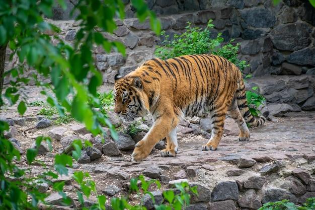 Niebezpieczny duży tygrys zakrada się wśród zarośli. tygrys prześladuje zdobycz.
