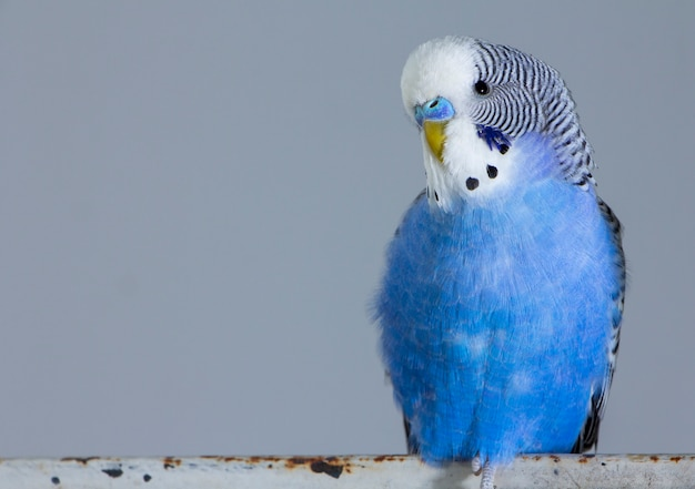Niebieska falista papuga siedzi na klatce