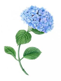 Niebieska hortensja akwarela ilustracja botaniczna na białym tle