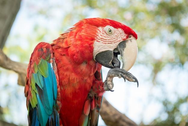 Niebieska i czerwona papuga ara