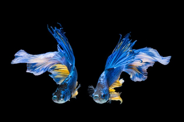 Niebieska i żółta ryba betta, bojownik syjamski na czarnym tle