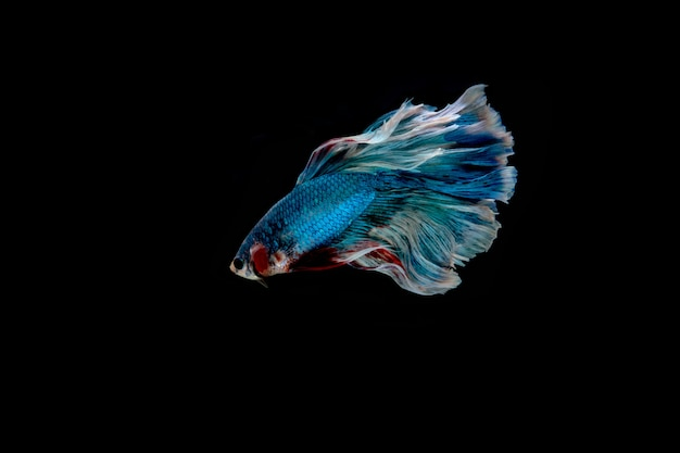 ิ niebieska ryba. wielokolorowa ryba bojowa
