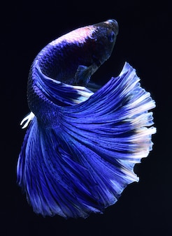 Niebieska walcząca ryba.