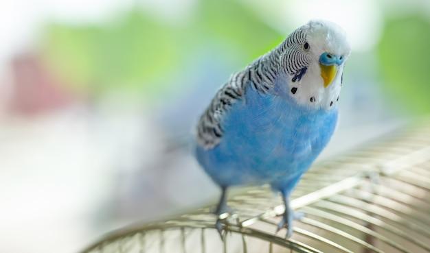 Niebieska zadowolona papuga falista siedzi na klatce, zbliżenie.