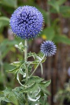 Niebieski allium kwitnący w ogrodzie w east grinstead