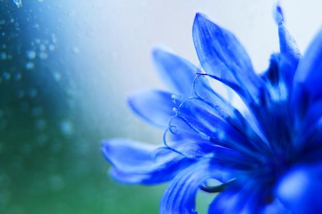 Niebieski chaber zbliżenie