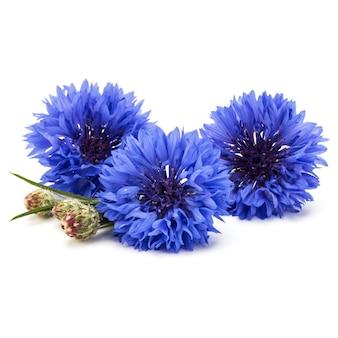 Niebieski chaber zioło lub guzik kawalerski bukiet kwiatów na białym tle wyłącznik