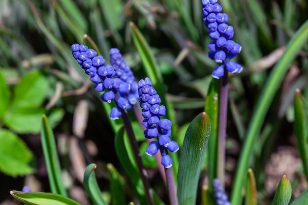 Niebieski hiacynt. kwiaty muscari. niebieskie kwiaty w wiosennym ogrodzie. muscari to rodzaj wieloletnich roślin bulwiastych pochodzących z eurazji. pierwsze niebieskie kwiaty springs. niebieskie kwiaty muscari z bliska.