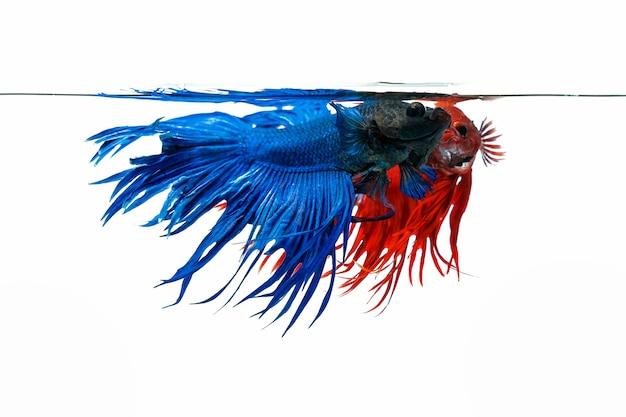 Niebieski i czerwony betta ryb, bojownik na białym tle