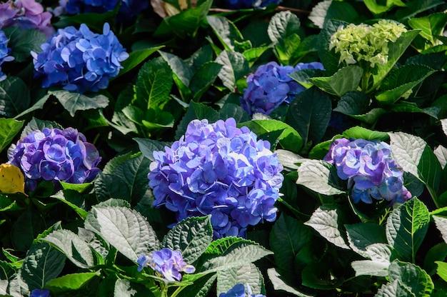 Niebieski i fioletowy kwiat hortensji
