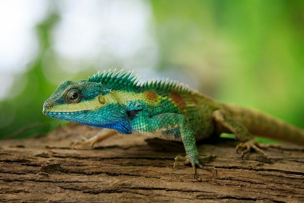 Niebieski kameleon na drzewie