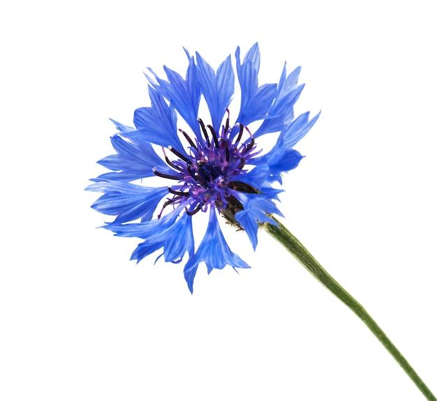 Niebieski kolorowy chaber na białym tle
