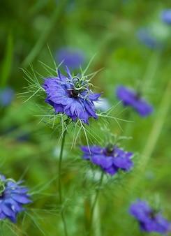 Niebieski kwiat czarnuszki na zielonym rozmytym tle loveinamist obdarta dama lub diabeł w buszu