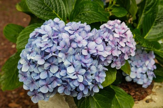 Niebieski kwiat hortensji macrophylla