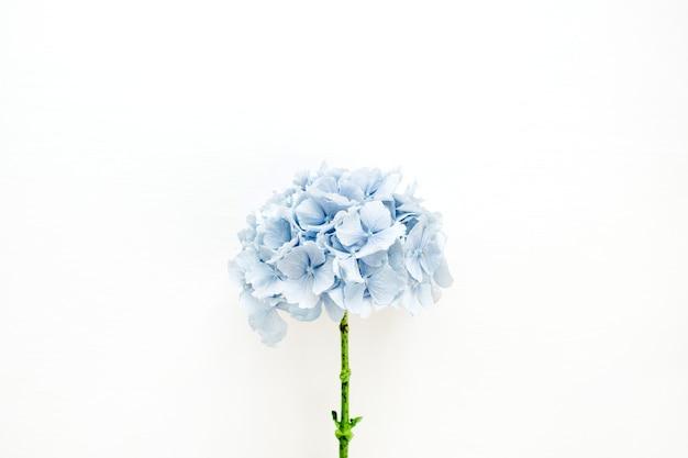 Niebieski kwiat hortensji na białej powierzchni