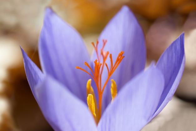 Niebieski kwiat krokus ligusticus (szafran) w lesie