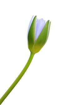 Niebieski kwiat lotosu na białym tle szczegółowo
