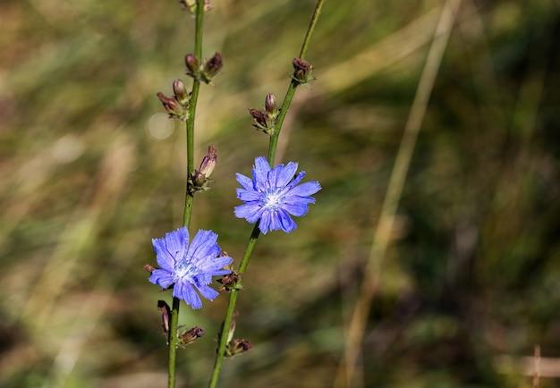 Niebieski leczniczy kwiat dzikiej cykorii w lesie.