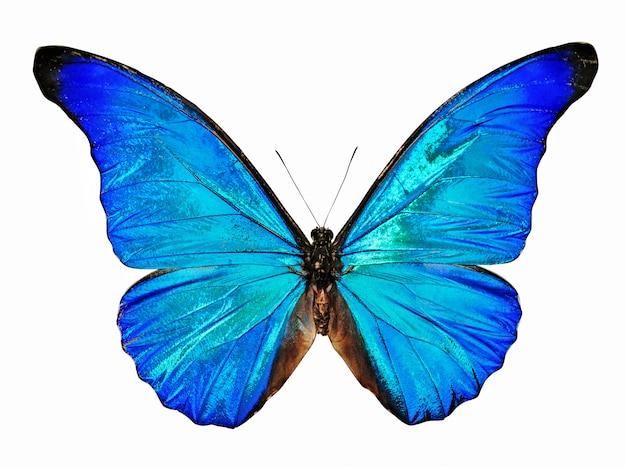 Niebieski motyl morpho anaxibia na białym tle