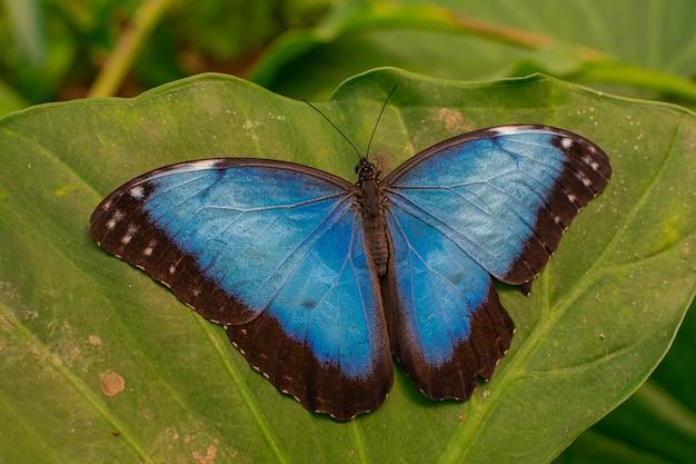 Niebieski motyl morpho peleides