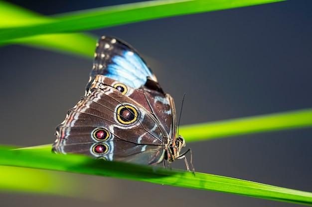 Niebieski motyl na zielonym liściu, francja