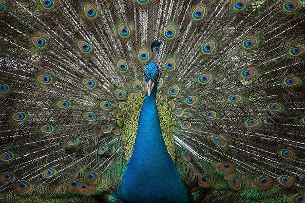 Niebieski paw indyjski z pięknym piórkiem