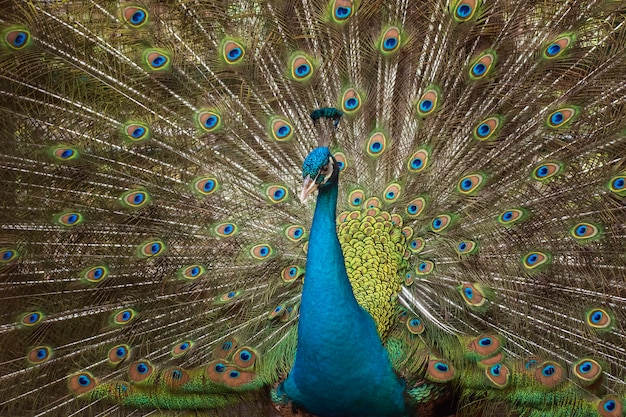 Niebieski paw z pięknym piórkiem