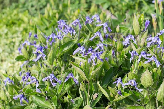 Niebieski powojnik integrifolia w ogrodzie