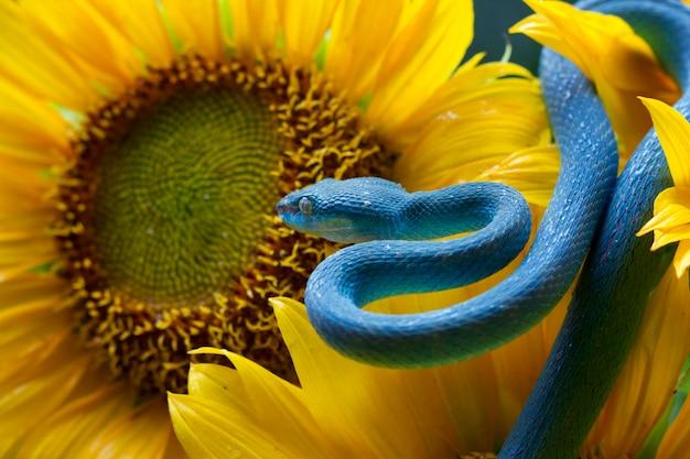 Niebieski wąż żmii na słoneczniku