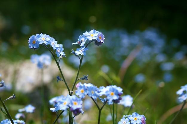 Niebieski zapomnij o mnie, nie kwiat z bliska.