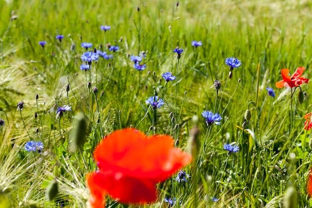 Niebieskie chabry latem, niebieskie kwiaty rosnące latem na polach