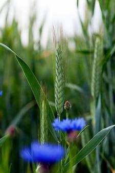 Niebieskie chabry rosnące na polach uprawnych obsadzonych kłosami zbóż.