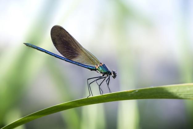 Niebieskie damselflies na liściu w ogrodzie przy świetle słonecznym z rozmytym tłem