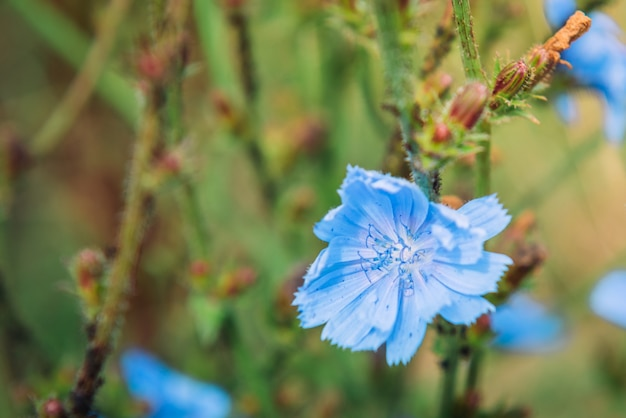 Niebieskie kwiaty cykorii na tle letniego krajobrazu.