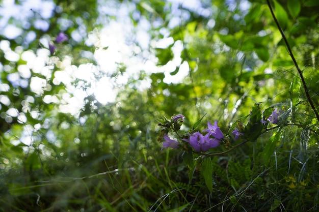 Niebieskie kwiaty dzwonka w słońcu. piękne łąki pole z polne kwiaty z bliska.