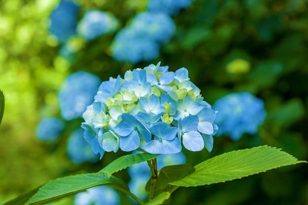 Niebieskie kwiaty hortensji, hortensja niebieska hortensja lato